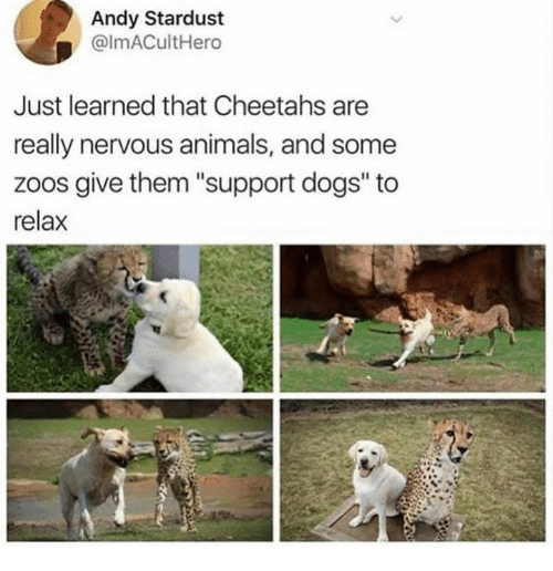 """Animals, Dogs, and Stardust: Andy Stardust  @lmACultHero  Just learned that Cheetahs are  really nervous animals, and some  zoos give them """"support dogs"""" to  relax"""