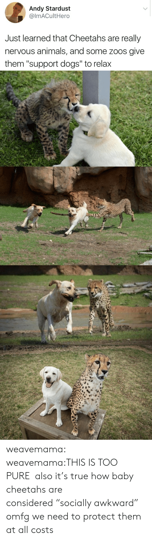 """Animals, Dogs, and True: Andy Stardust  @lmACultHero  Just learned that Cheetahs are really  nervous animals, and some zoos give  them """"support dogs"""" to relax weavemama:  weavemama:THIS IS TOO PURE also it's true how baby cheetahs are considered""""socially awkward"""" omfg we need to protect them at all costs"""