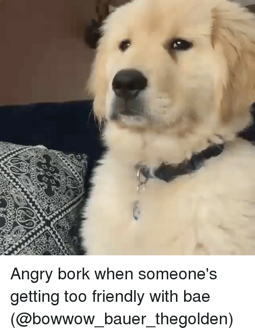 Bae, Memes, and Angry: Angry bork when someone's getting too friendly with bae (@bowwow_bauer_thegolden)