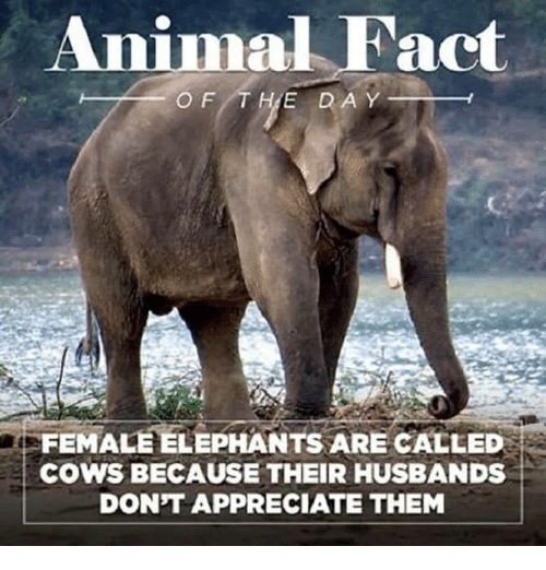 what is a female elephant called