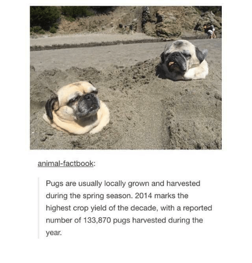 Animal, Pugs, and Spring: animal-factbook:  Pugs are usually locally grown and harvested  during the spring season. 2014 marks the  highest crop yield of the decade, with a reported  number of 133,870 pugs harvested during the  year.