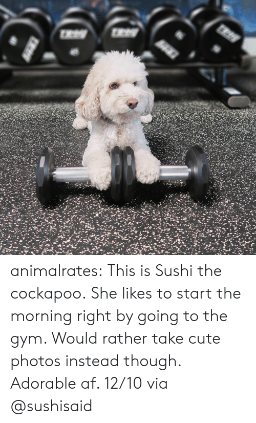 Af, Cute, and Gym: animalrates: This is Sushi the cockapoo. She likes to start the morning right by going to the gym. Would rather take cute photos instead though. Adorable af. 12/10 via @sushisaid