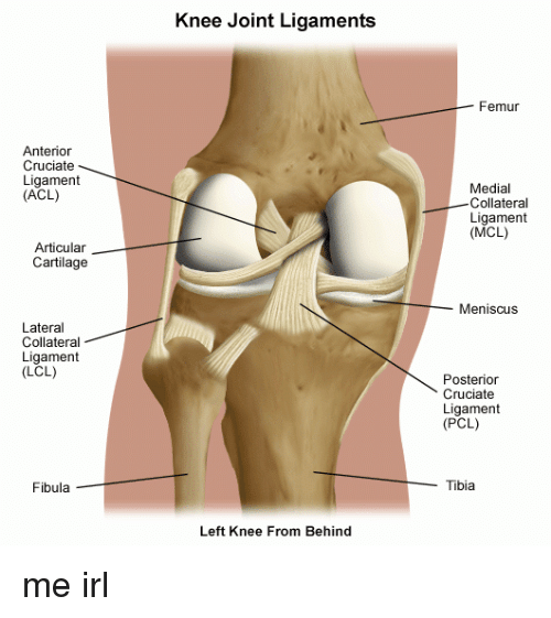 Anterior Cruciate Ligament ACL Articular Cartilage Lateral ...