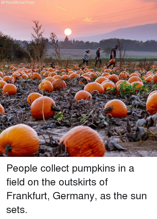 Memes, Germany, and Michael: AP Photo/Michael Probst People collect pumpkins in a field on the outskirts of Frankfurt, Germany, as the sun sets.