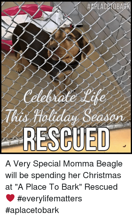 christmas memes and aplaceto ba rescued a very special momma beagle - And This Christmas Will Be A Very Special Christmas