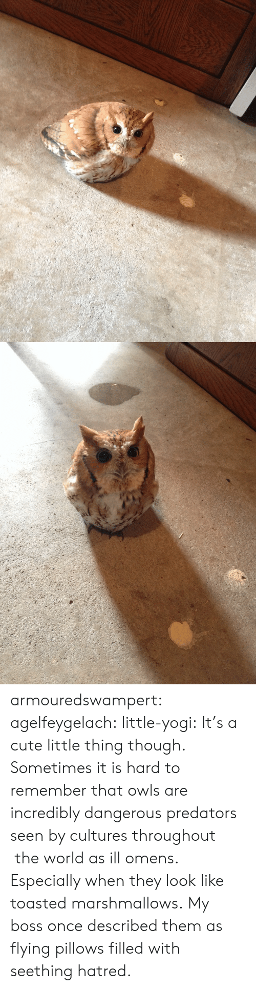 Cute, Tumblr, and Blog: armouredswampert: agelfeygelach:  little-yogi:  It's a cute little thing though.  Sometimes it is hard to remember that owls are incredibly dangerous predators seen by cultures throughout the world as ill omens. Especially when they look like toasted marshmallows.  My boss once described them as flying pillows filled with seething hatred.