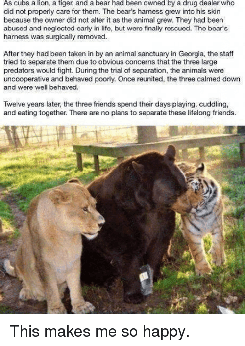 Drug Dealer, Memes, and Cubs: As cubs a lion, a tiger, and a bear had been owned by a drug dealer who  did not properly care for them. The bear's harness grew into his skin  because the owner did not alter it as the animal grew. They had been  abused and neglected early in life, but were finally rescued. The bear's  harness was surgically removed.  After they had been taken in by an animal sanctuary in Georgia, the staff  tried to separate them due to obvious concerns that the three large  predators would fight. During the trial of separation, the animals were  uncooperative and behaved poorly. Once reunited, the three calmed down  and were well behaved.  Twelve years later, the three friends spend their days playing, cuddling,  and eating together. There are no plans to separate these lifelong friends. This makes me so happy.