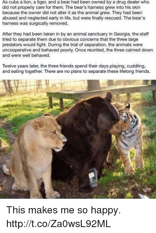 Animals, Drug Dealer, and Friends: As cubs a lion, a tiger, and a bear had been owned by a drug dealer who  did not properly care for them. The bear's harness grew into his skin  because the owner did not alter it as the animal grew. They had been  abused and neglected early in life, but were finally rescued. The bear's  harness was surgically removed.  After they had been taken in by an animal sanctuary in Georgia, the staff  tried to separate them due to obvious concerns that the three large  predators would fight. During the trial of separation, the animals were  uncooperative and behaved poorly. Once reunited, the three calmed down  and were well behaved.  Twelve years later, the three friends spend their days playing, cuddling,  and eating together. There are no plans to separate these lifelong friends. This makes me so happy. http://t.co/Za0wsL92ML