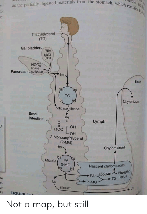 Blood, Map, and Gallbladder: as the partially digested materials from the stomach, which contains hyd  vateril  er  ti-  ne  Triacylglycerol  (TG)  Gallbladder-  Bile  salts  (bs)  НСОЗ  lipase  Pancreas colipase  bs  Blood  bs  bs  TG  Chylomicrons  bs  bs  colipase) lipase  Small  FA  intestine  Lymph  I3I  ОН  RCO  OH  2-Monoacylglycerol  (2-MG)  Chylomicrons  bs  bs  bs  Micelle  FA  2-MG  bs  Nascent chylomicrons  Phospho-  bs  FA apoB48  TG lipids  he  2-MG  bs  e-  bs  (lleum)  er  FIGURF 20 1  ts Not a map, but still