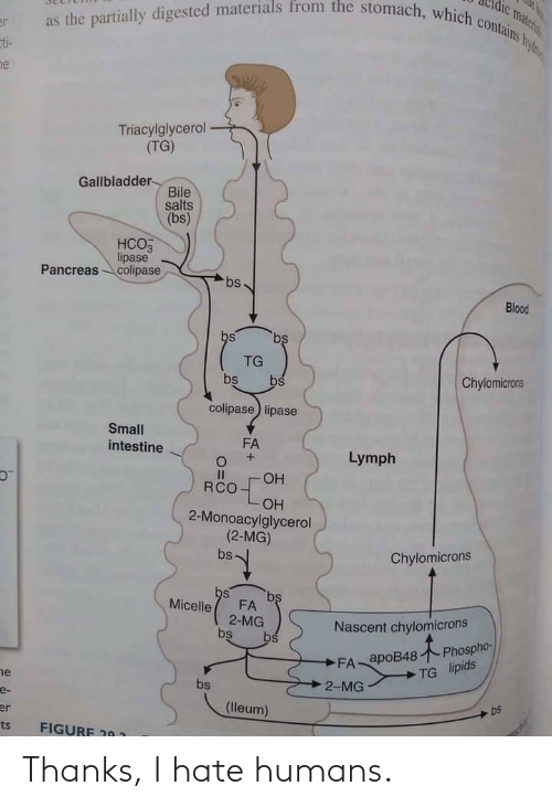 Blood, Gallbladder, and Bile: as the partially digested materials from the stomach, which contains hy  vateri  er  ti-  ne  Triacylglycerol  (TG)  Gallbladder-  Bile  salts  (bs)  НСОЗ  lipase  Pancreascolipase  bs  Blood  bs  bs  TG  Chylomicrons  bs  bs  colipase lipase  Small  FA  intestine  Lymph  OH  RCO  ОН  2-Monoacylglycerol  (2-MG)  Chylomicrons  bs  bs  bs  FA  2-MG  bs  Micelle  Nascent chylomicrons  bs  FA apoB48 Phospho-  TG lipids  ne  2-MG  bs  e-  bs  (lleum)  er  ts  FIGURE 20 1 Thanks, I hate humans.