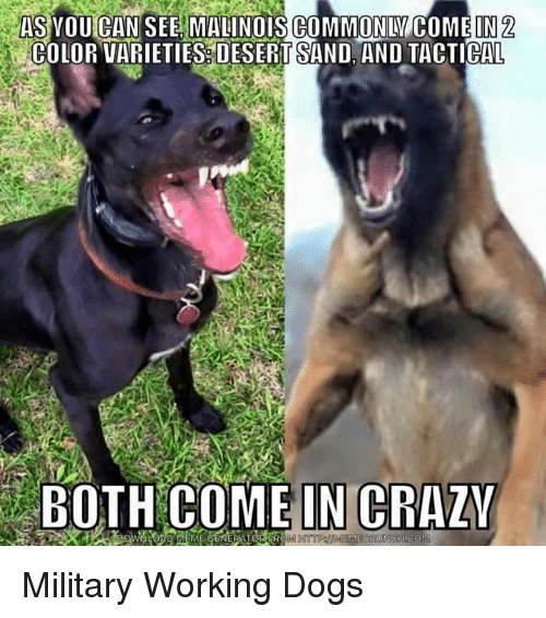 as you can see malinois commonly come in 2 color 6773243 ✅ 25 best memes about belgian malinois belgian malinois memes