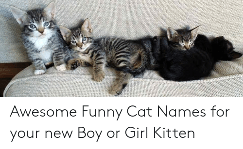Awesome Funny Cat Names For Your New Boy Or Girl Kitten Funny Meme On Me Me