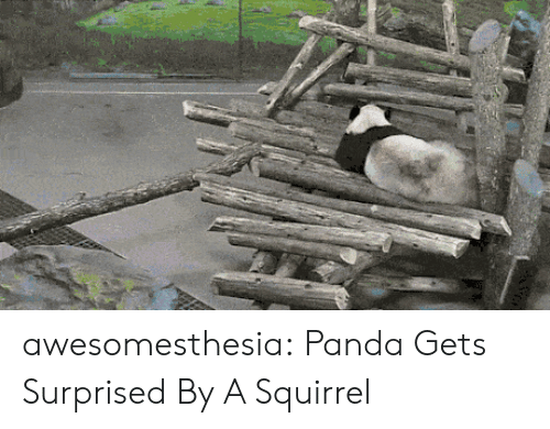 Tumblr, Panda, and Blog: awesomesthesia:  Panda Gets Surprised By A Squirrel