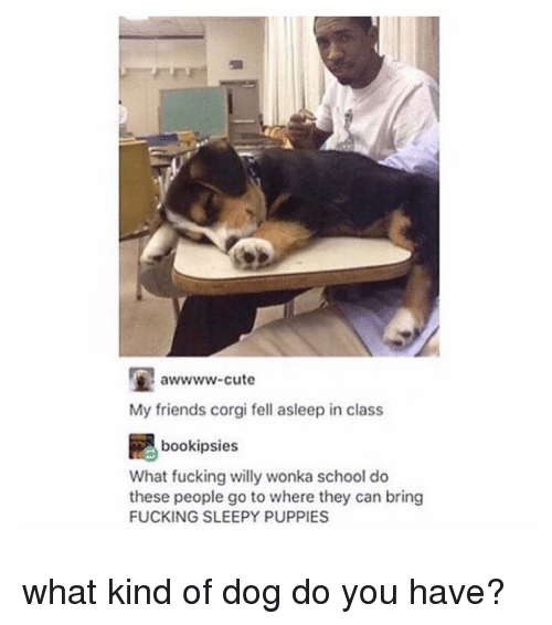 Corgi, Cute, and Friends: awwww-cute  My friends corgi fell asleep in class  bookipsies  What fucking willy wonka school do  these people go to where they can bring  FUCKING SLEEPY PUPPIES what kind of dog do you have?