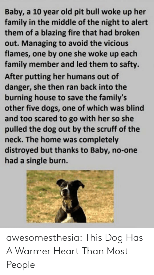 Dogs, Family, and Fire: Baby, a 10 year old pit bull woke up her  family in the middle of the night to alert  them of a blazing fire that had broken  out. Managing to avoid the vicious  flames, one by one she woke up each  family member and led them to safty.  After putting her humans out of  danger, she then ran back into the  burning house to save the family's  other five dogs, one of which was blind  and too scared to go with her so she  pulled the dog out by the scruff of the  neck. The home was completely  distroyed but thanks to Baby, no-one  had a single burn. awesomesthesia:  This Dog Has A Warmer Heart Than Most People