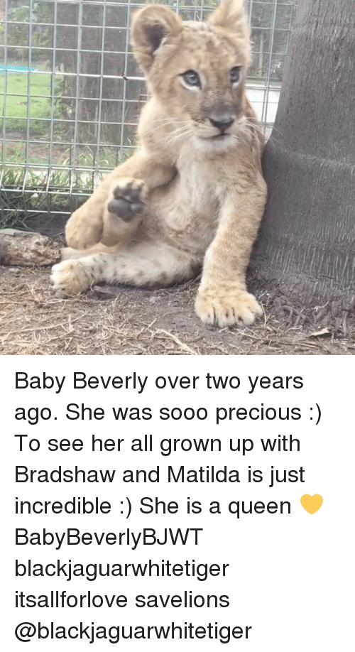 Matilda, Memes, and Precious: Baby Beverly over two years ago. She was sooo precious :) To see her all grown up with Bradshaw and Matilda is just incredible :) She is a queen 💛 BabyBeverlyBJWT blackjaguarwhitetiger itsallforlove savelions @blackjaguarwhitetiger