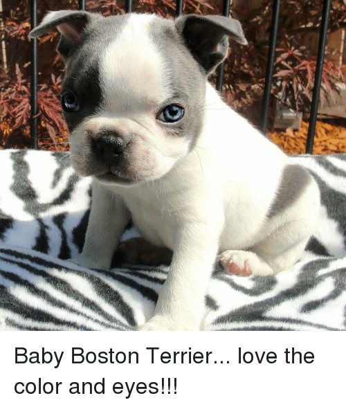 Memes Boston And Terrier Baby Love The