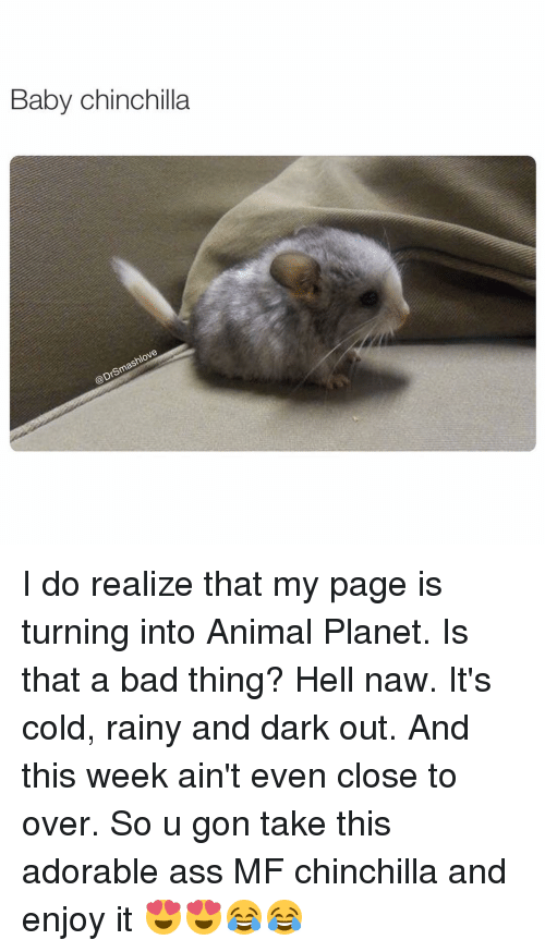 Animal Planet, Memes, and Planets: Baby Chinchilla  sm I do realize that my page is turning into Animal Planet. Is that a bad thing? Hell naw. It's cold, rainy and dark out. And this week ain't even close to over. So u gon take this adorable ass MF chinchilla and enjoy it 😍😍😂😂