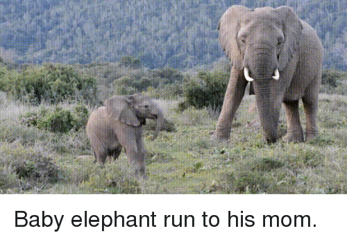 Run, Elephant, and Mom: Baby elephant run to his mom.