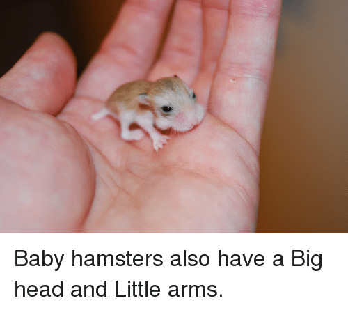 Baby Hamsters Also Have a Big Head and Little Arms | Head