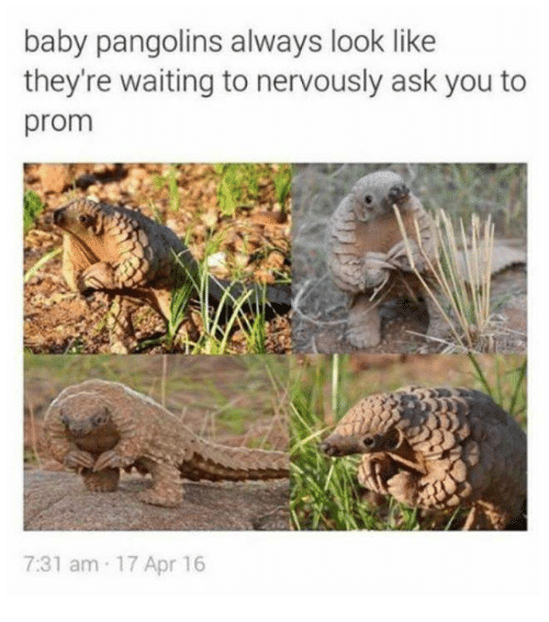 Humans of Tumblr, Waiting..., and Baby: baby pangolins always look like  they're waiting to nervously ask you to  prom  7:31 am 17 Apr 16