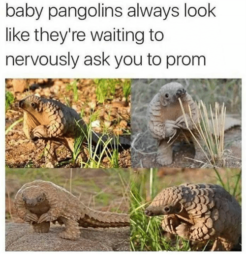 Memes, Waiting..., and Asking: baby pangolins always look  like they're waiting to  nervously ask you to prom