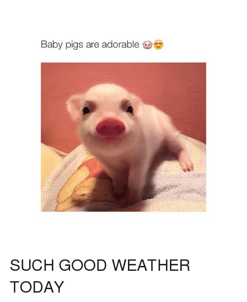 baby pigs are adorable such good weather today baby it s cold