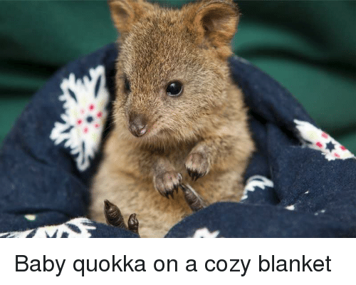 Happy Baby Quokka | www.pixshark.com - Images Galleries ...