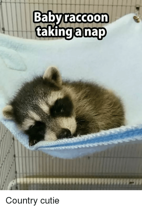 baby raccoon taking a nap country cutie 9403454 baby raccoon taking a nap country cutie meme on me me