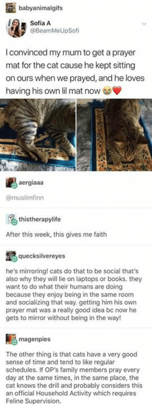 Books, Cats, and Family: babyanimalgifs  Sofia A  @BeamMeUpSofi  I convinced my mum to get a prayer  mat for the cat cause he kept sitting  on ours when we prayed, and he loves  having his own lil mat now  ergiaaa  @muslimfinn  thistherapylife  After this week, this gives me faith  quecksilvereyes  he's mirroring! cats do that to be social that's  also why they will lie on laptops or books. they  want to do what their humans are doing  because they enjoy being in the same room  and socializing that way. getting him his own  prayer mat was a really good idea bc now he  gets to mirror without being in the way!  magenpies  The other thing is that cats have a very good  sense of time and tend to like regular  schedules. If OP's family members pray every  day at the same times, in the same place, the  cat knows the drill and probably considers this  an official Household Activity which requires  Feline Supervision.