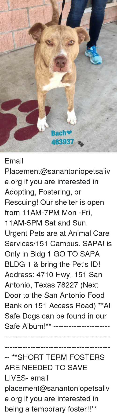 Dogs, Food, and Memes: Bach  463937 Email Placement@sanantoniopetsalive.org if you are interested in Adopting, Fostering, or Rescuing!  Our shelter is open from 11AM-7PM Mon -Fri, 11AM-5PM Sat and Sun.  Urgent Pets are at Animal Care Services/151 Campus. SAPA! is Only in Bldg 1 GO TO SAPA BLDG 1 & bring the Pet's ID! Address: 4710 Hwy. 151 San Antonio, Texas 78227 (Next Door to the San Antonio Food Bank on 151 Access Road)  **All Safe Dogs can be found in our Safe Album!** ---------------------------------------------------------------------------------------------------------- **SHORT TERM FOSTERS ARE NEEDED TO SAVE LIVES- email placement@sanantoniopetsalive.org if you are interested in being a temporary foster!!**