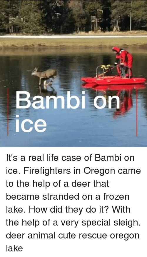 Bambi, Cute, and Deer: Bambi on  ice It's a real life case of Bambi on ice. Firefighters in Oregon came to the help of a deer that became stranded on a frozen lake. How did they do it? With the help of a very special sleigh. deer animal cute rescue oregon lake