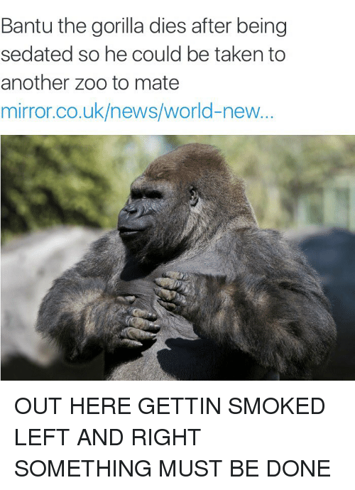 Funny, News, and Smoking: Bantu the gorilla dies after being  sedated so he could be taken to  another Zoo to mate  mirror.co.uk/news/world-new OUT HERE GETTIN SMOKED LEFT AND RIGHT SOMETHING MUST BE DONE