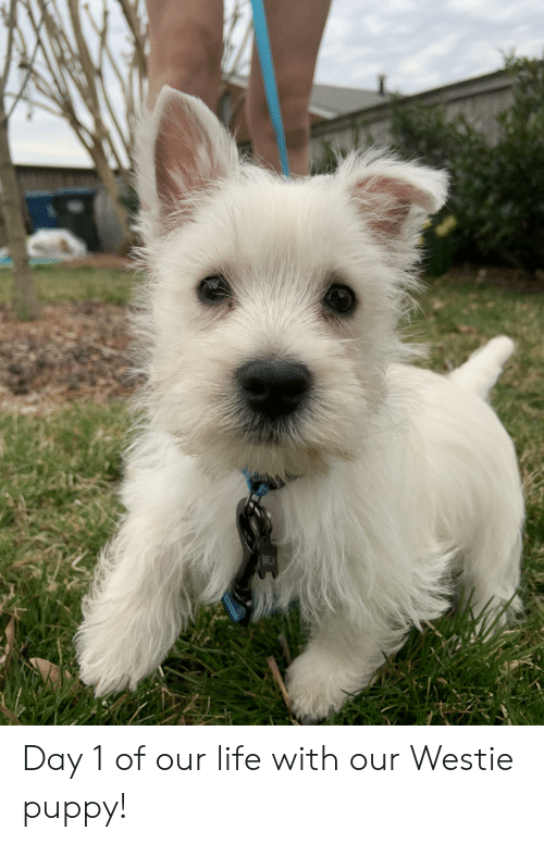 BARCA Day 1 of Our Life With Our Westie Puppy! | Life Meme