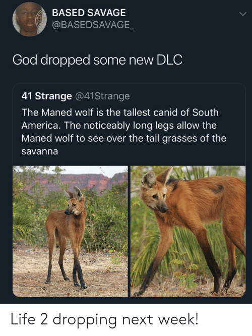 America, God, and Life: BASED SAVAGE  @BASEDSAVAGE  God dropped some new DLC  41 Strange @41Strange  The Maned wolf is the tallest canid of South  America. The noticeably long legs allow the  Maned wolf to see over the tall grasses of the  savanna Life 2 dropping next week!