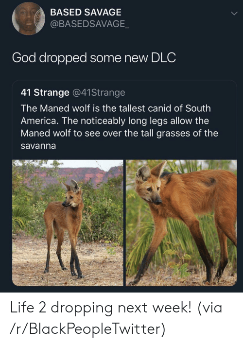 America, Blackpeopletwitter, and God: BASED SAVAGE  @BASEDSAVAGE  God dropped some new DLC  41 Strange @41Strange  The Maned wolf is the tallest canid of South  America. The noticeably long legs allow the  Maned wolf to see over the tall grasses of the  savanna Life 2 dropping next week! (via /r/BlackPeopleTwitter)