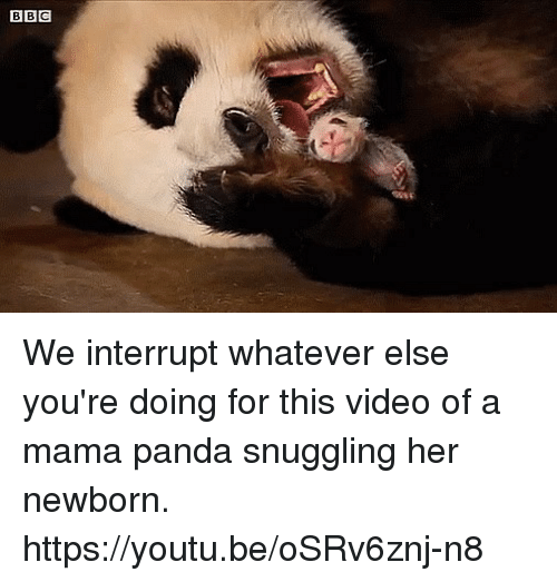 Dank, Panda, and Video: BBC We interrupt whatever else you're doing for this video of a mama panda snuggling her newborn. https://youtu.be/oSRv6znj-n8