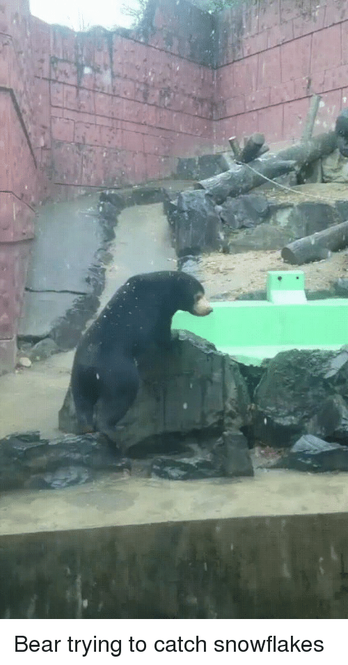 Bear, Snowflakes, and  Catch: Bear trying to catch snowflakes