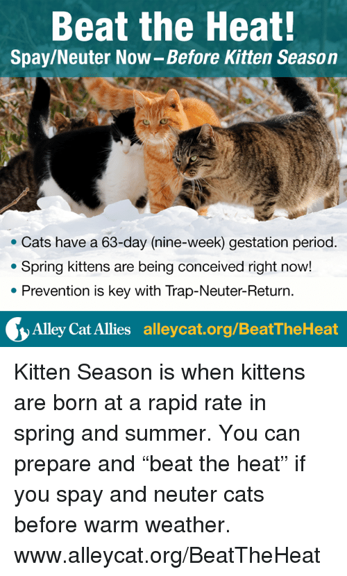 "Memes, Period, and Trap: Beat the Heat!  Spay/Neuter Now-Before Kitten Season  Cats have a 63-day (nine-week) gestation period  Spring kittens are being conceived right now!  Prevention is key with Trap-Neuter-Return  Alley Cat Allies  alleycat.org/BeatTheHeat Kitten Season is when kittens are born at a rapid rate in spring and summer. You can prepare and ""beat the heat"" if you spay and neuter cats before warm weather.  www.alleycat.org/BeatTheHeat"