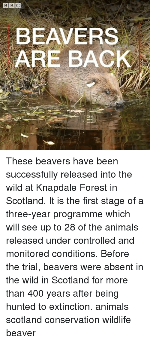 Animals, Memes, and Scotland: BEAVERS  ARE BACK These beavers have been successfully released into the wild at Knapdale Forest in Scotland. It is the first stage of a three-year programme which will see up to 28 of the animals released under controlled and monitored conditions. Before the trial, beavers were absent in the wild in Scotland for more than 400 years after being hunted to extinction. animals scotland conservation wildlife beaver