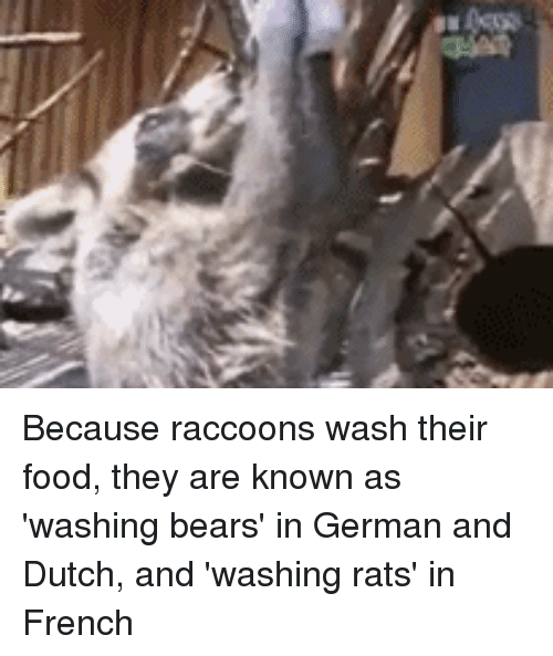 Because Raccoons Wash Their Food They Are Known As Washing Bears