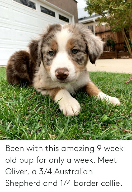 Border Collie, Amazing, and Old: Been with this amazing 9 week old pup for only a week. Meet Oliver, a 3/4 Australian Shepherd and 1/4 border collie.