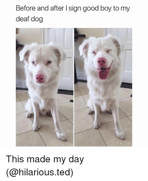 Funny, Ted, and Good: Before and after I sign good boy to my  deaf dog This made my day (@hilarious.ted)