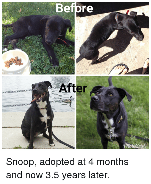 Snoop, Dog, and Snoop Dog: Befpre  F2  After  ProteGria Snoop, adopted at 4 months and now 3.5 years later.