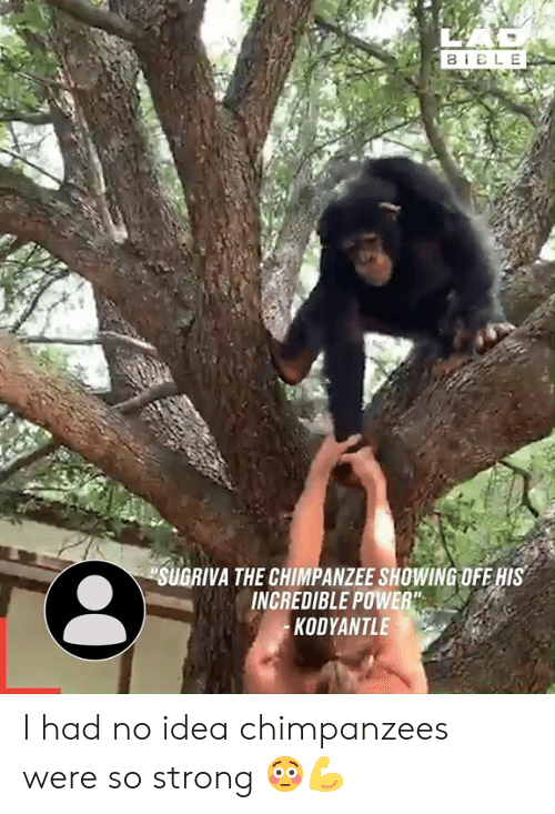"Dank, Power, and Strong: BELE  SUGRIVA THE CHIMPANZEE SHOWING OFE HIS  INCREDIBLE POWER""  KODYANTLE I had no idea chimpanzees were so strong 😳💪"