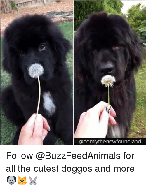 Relatable, All The, and All: @bentlythenewfoundland Follow @BuzzFeedAnimals for all the cutest doggos and more 🐶🐱🐰