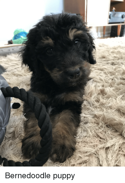 Puppy, Wookiee, and Little: Bernedoodle puppy