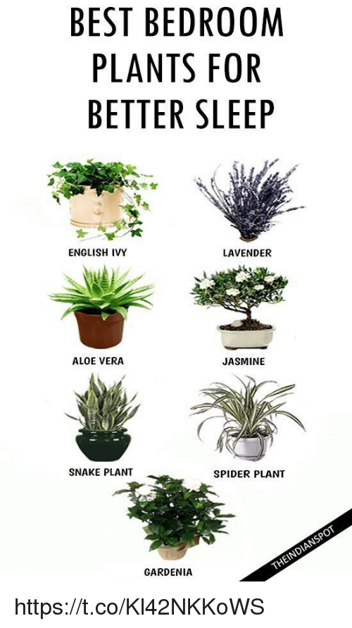 Memes, Spider, And Snake: BEST BEDROOM PLANTS FOR BETTER SLEEP ENGLISH IVY  LAVENDER