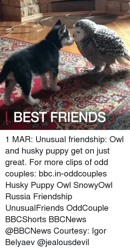 Memes, 🤖, and Bbc: BEST FRIENDS 1 MAR: Unusual friendship: Owl and husky puppy get on just great. For more clips of odd couples: bbc.in-oddcouples Husky Puppy Owl SnowyOwl Russia Friendship UnusualFriends OddCouple BBCShorts BBCNews @BBCNews Courtesy: Igor Belyaev @jealousdevil