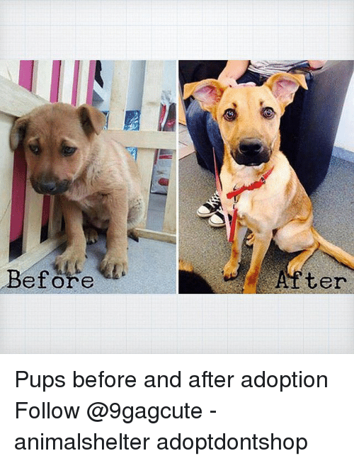 Memes, 🤖, and Bet: Bet ore  After Pups before and after adoption Follow @9gagcute - animalshelter adoptdontshop